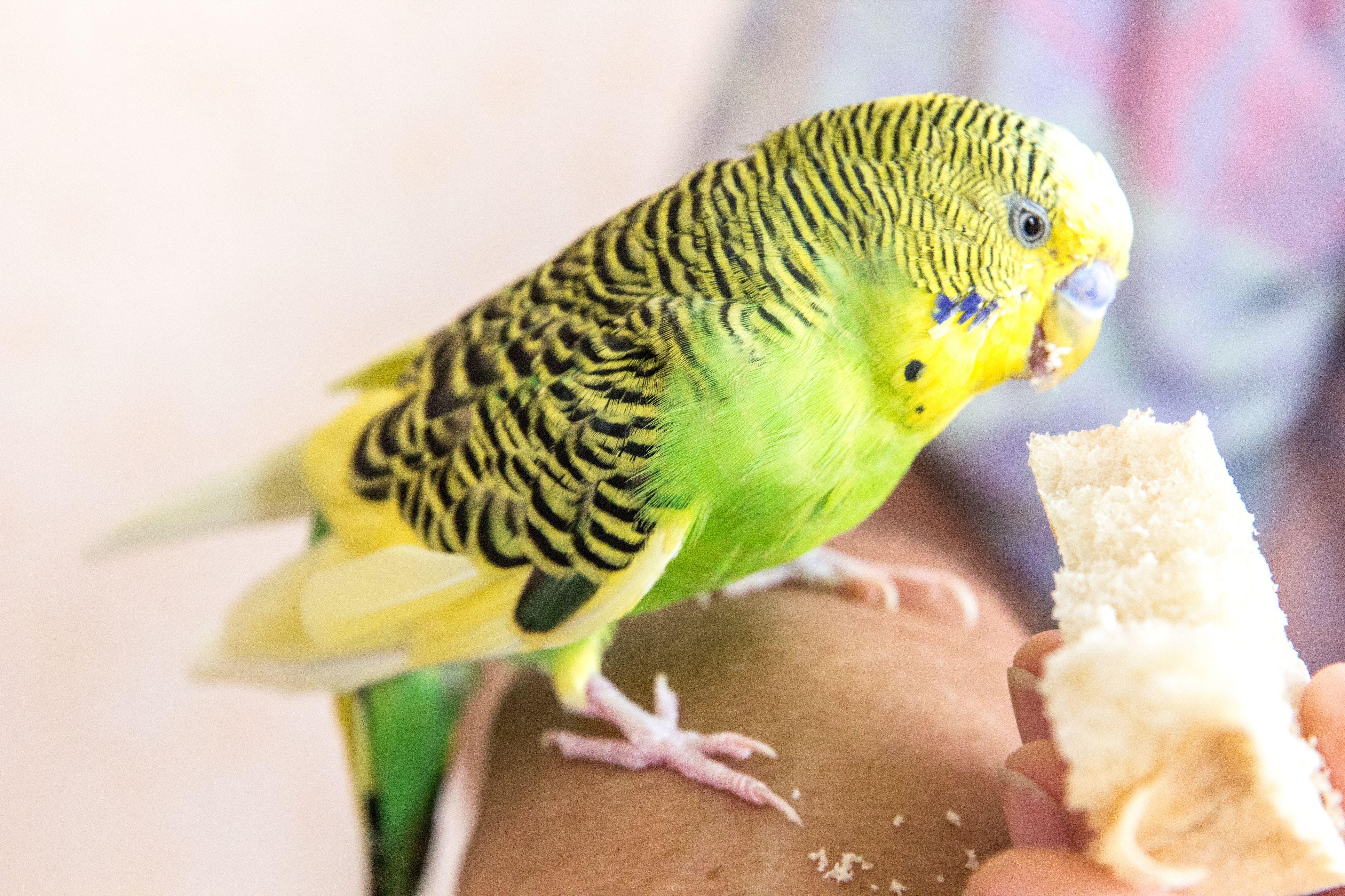 Green parrot eating bread