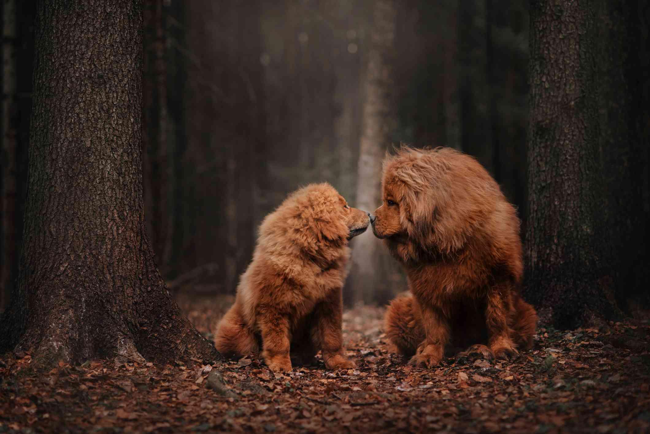 Red gold Tibetan Mastiff adult and puppy