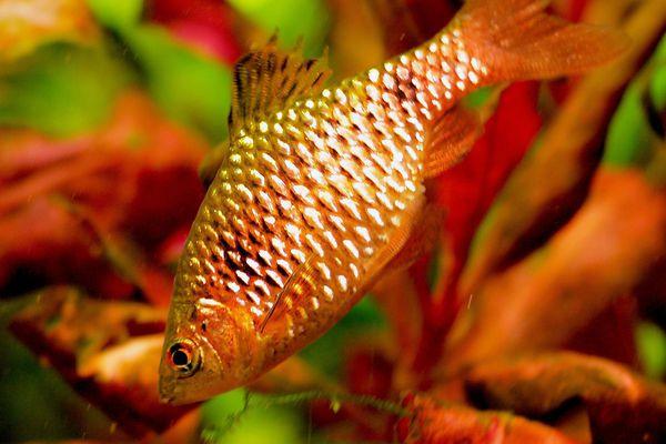Puntius conchonius - Rosy Barb