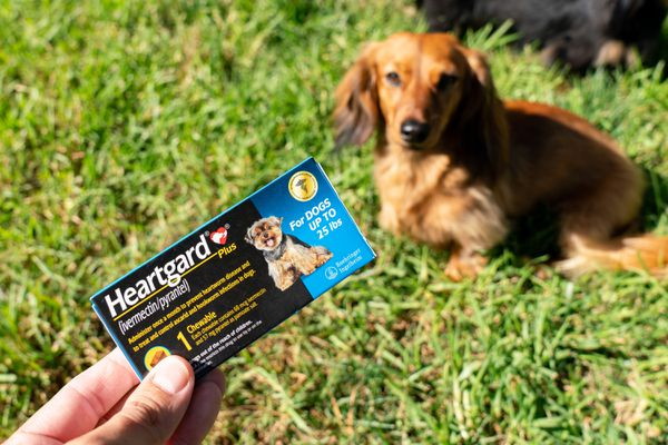 Brown and long-haired dachshund dog sitting on grass under packet of ivermectin