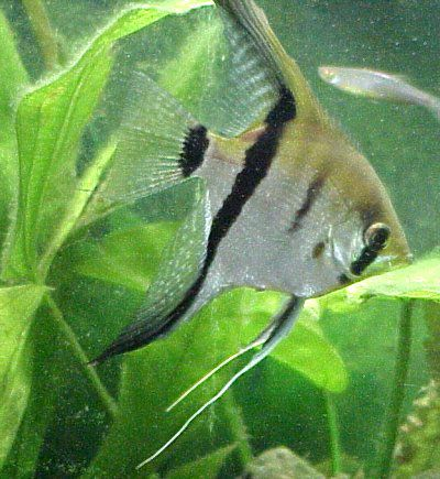 Silver Angelfish