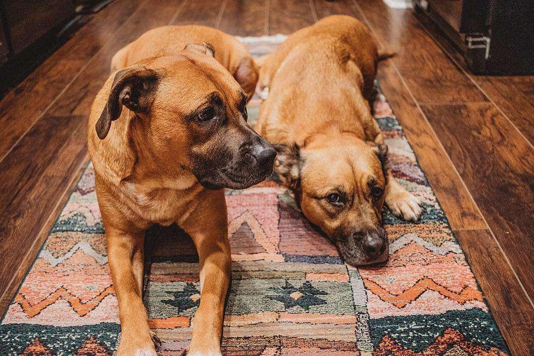 Dos perros de raza mixta acostados en una alfombra del área