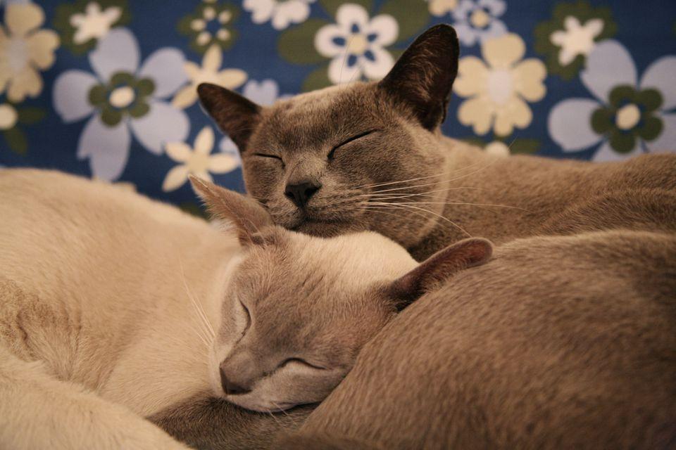 Burmese cats cuddling up