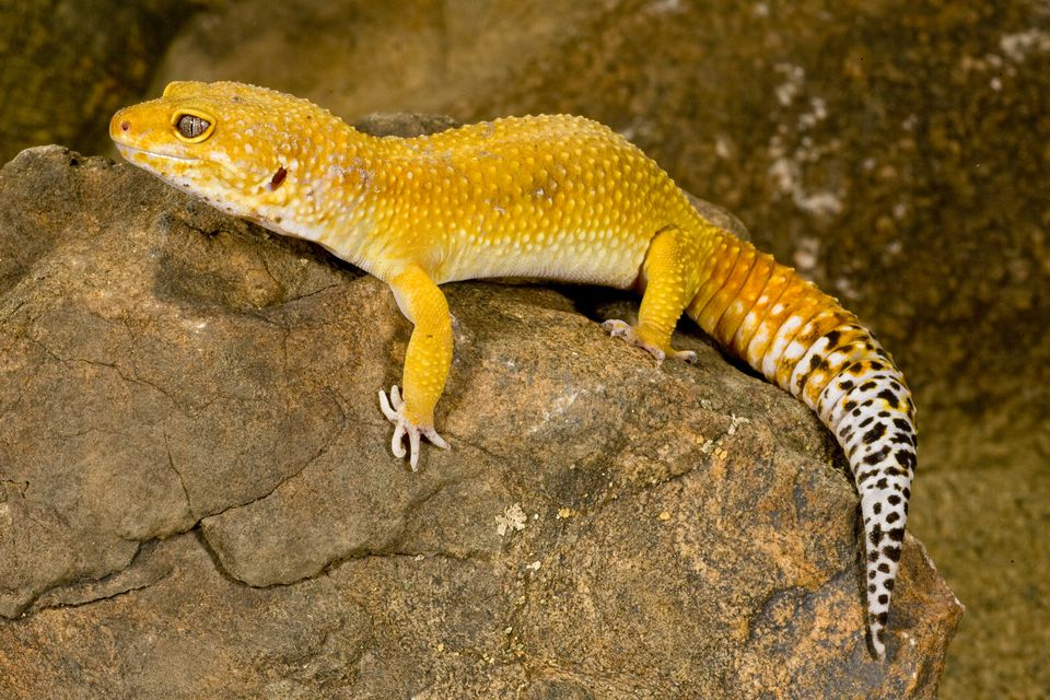 This Morph Is Pretty Self Explanatory Giant Leopard Geckos Are Larger Than Average Due To The Gene It Important Note That A Gecko Being