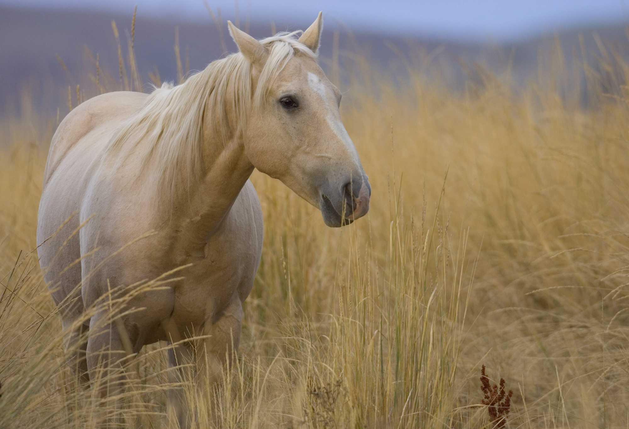 Cuarto de caballo alimentándose en un campo de hierba alta