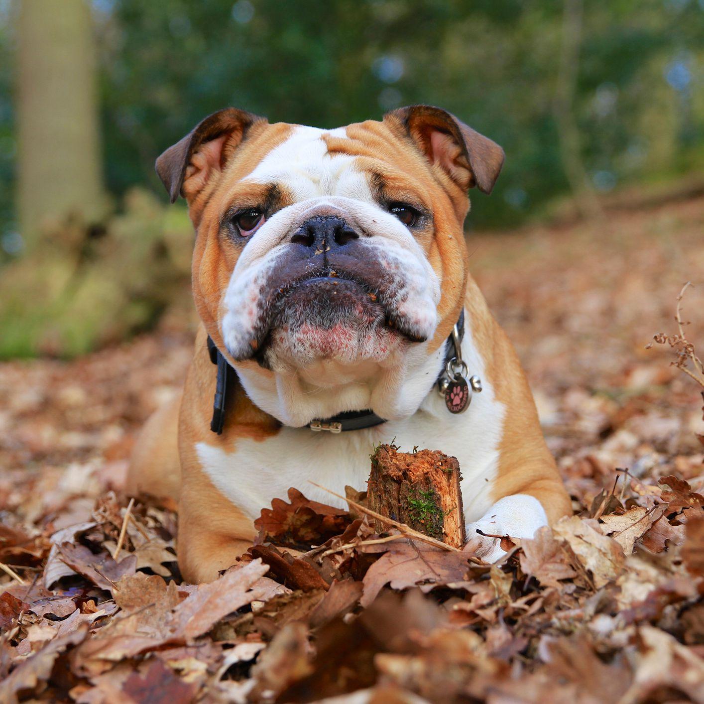 Bulldog Full Profile History And Care