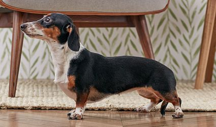 Dachshund (Doxie) dog standing indoors in profile