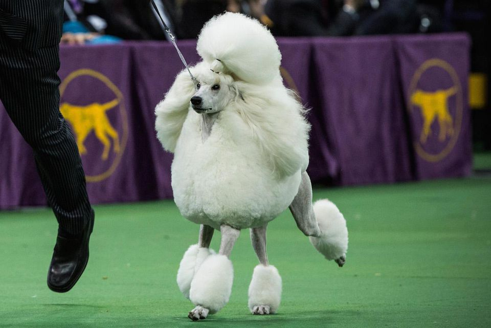 westminster dog show poddle