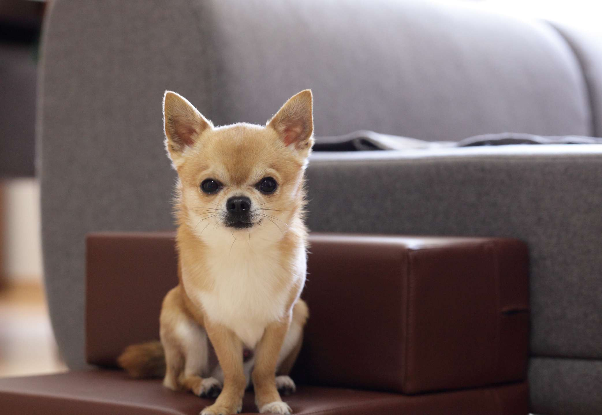 Long haired chihuahua sitting on chair next to couch.