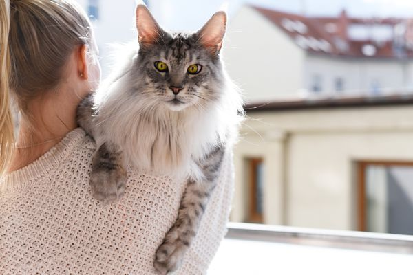 Maine coon gray and white cat being held by owner near window