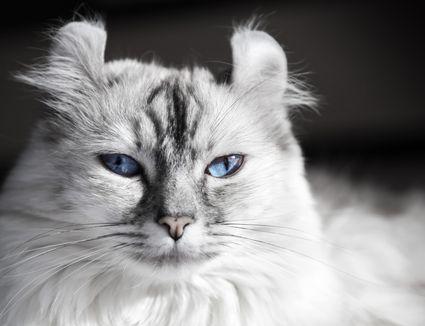 A close-up of a white American Curl cat