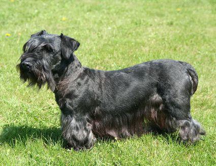 cesky terrier in the grass