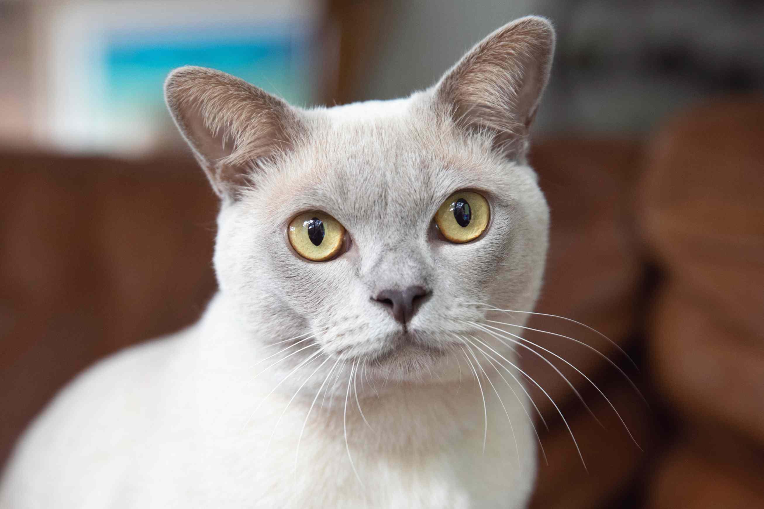 Light tan Burmese cat with yellow eyes closeup