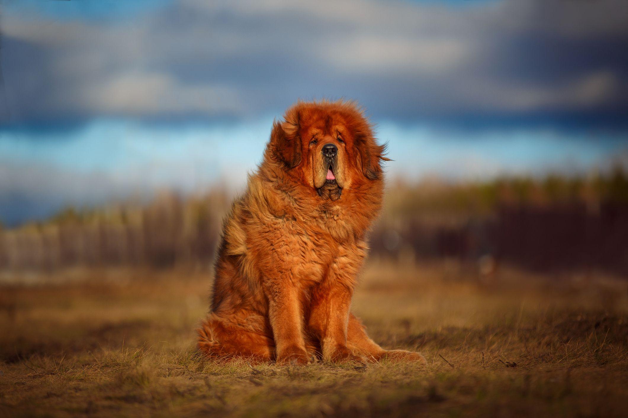 Tibetan Mastiff Full Profile History