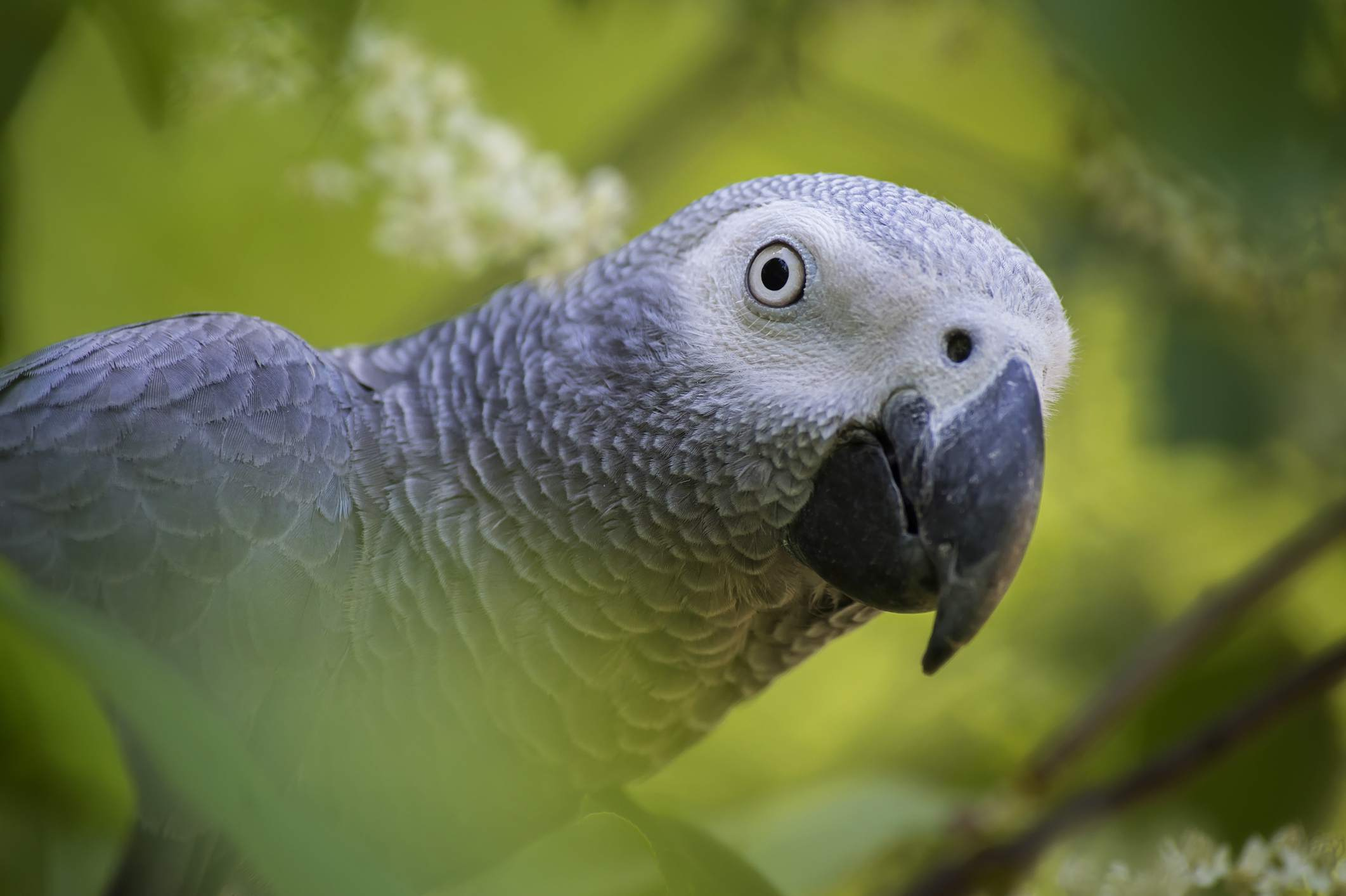 African grey parrot in a tree.