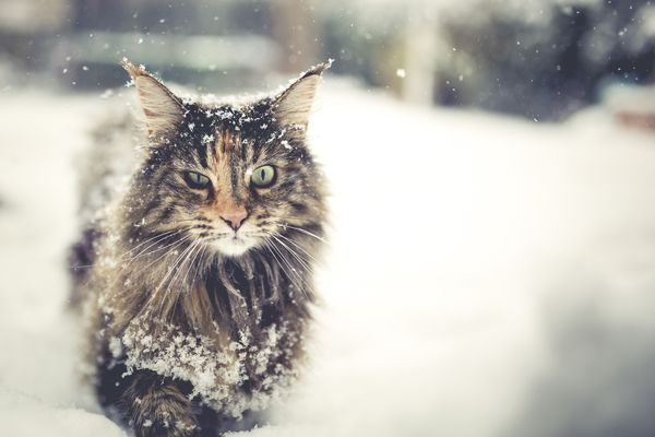 A long-haired Norwegian Forest Cat walking in the snow.