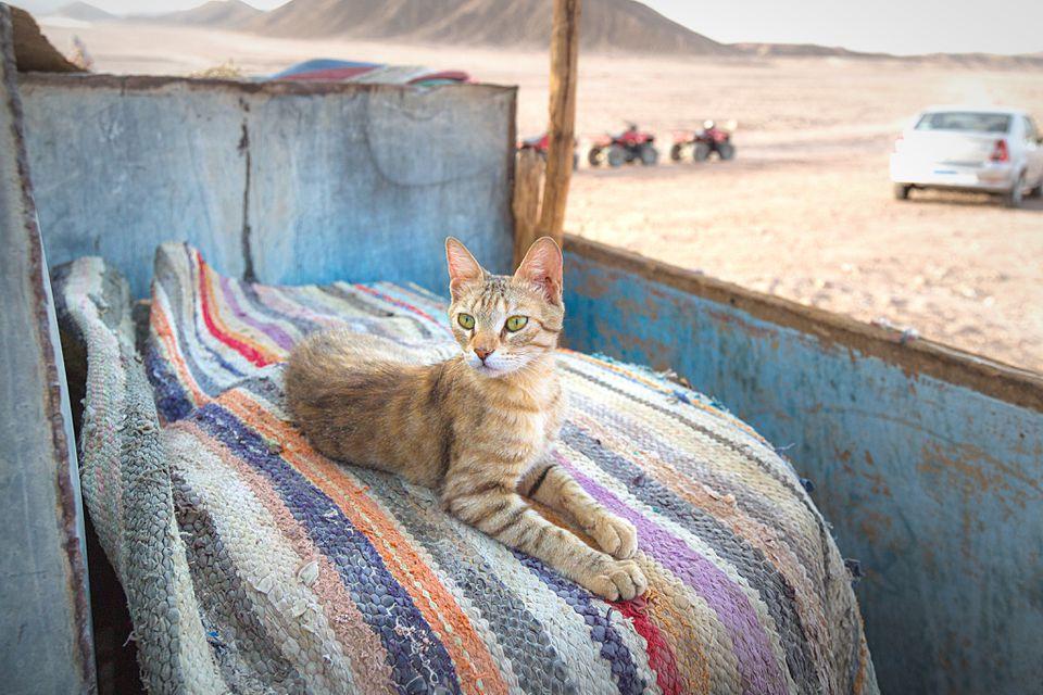 Cat Sitting On Rug By Desert