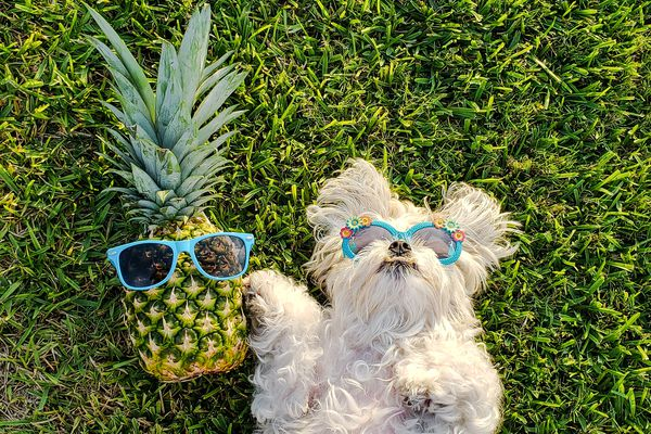 Maltese Wearing Sunglasses and Pineapple with Sunglasses Laying in the Grass