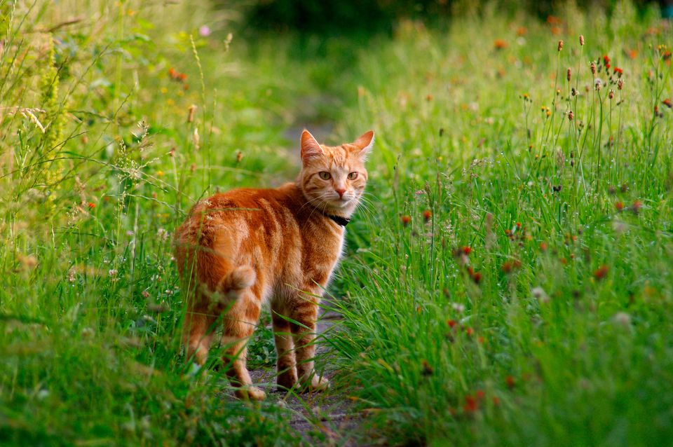 orange cat outside