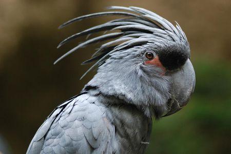 Black Palm Cockatoo Bird Species Profile