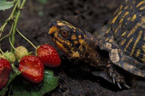 An eastern box turtle eating strawberries