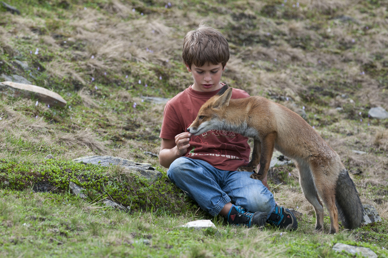 Boy feeding a vixen, Red Fox