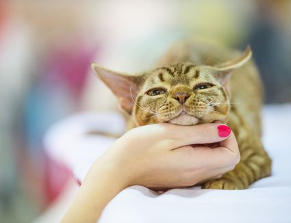 Person petting Devon Rex cat under chin