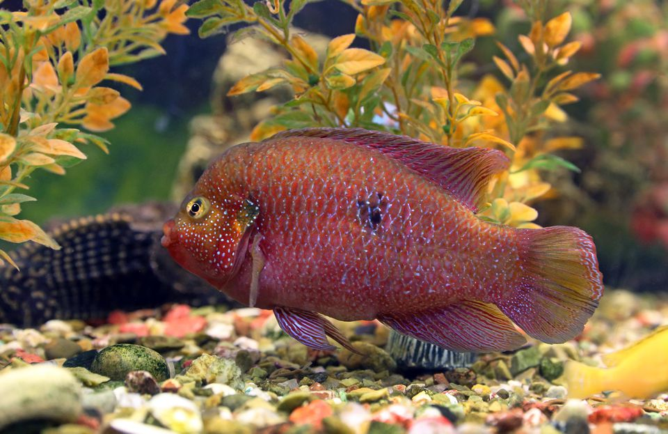 Colorful jewelfish