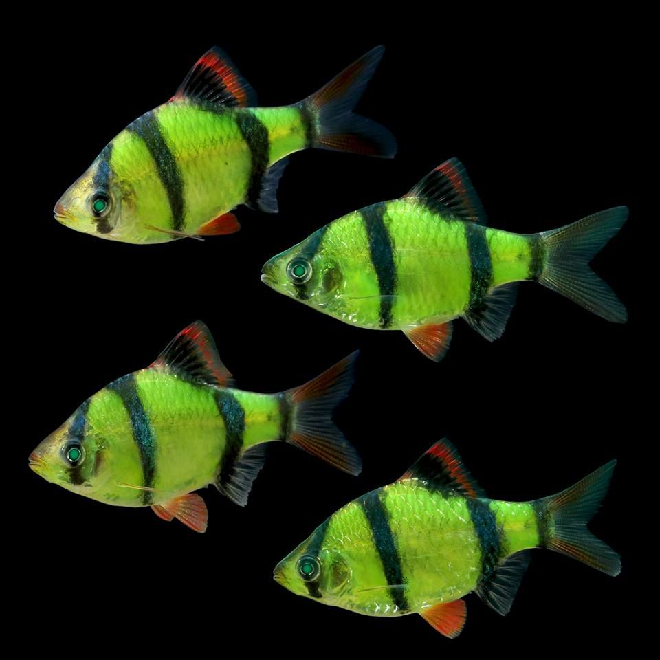 Green Tiger Barb Glofish