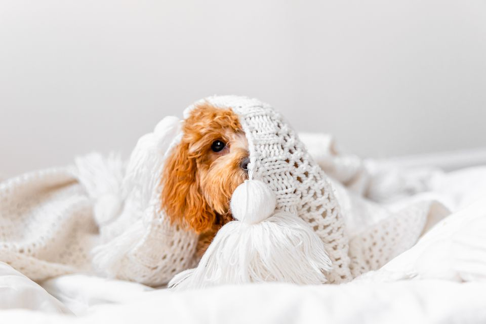 Light brown and fluffy puppy playing under crochet blanket
