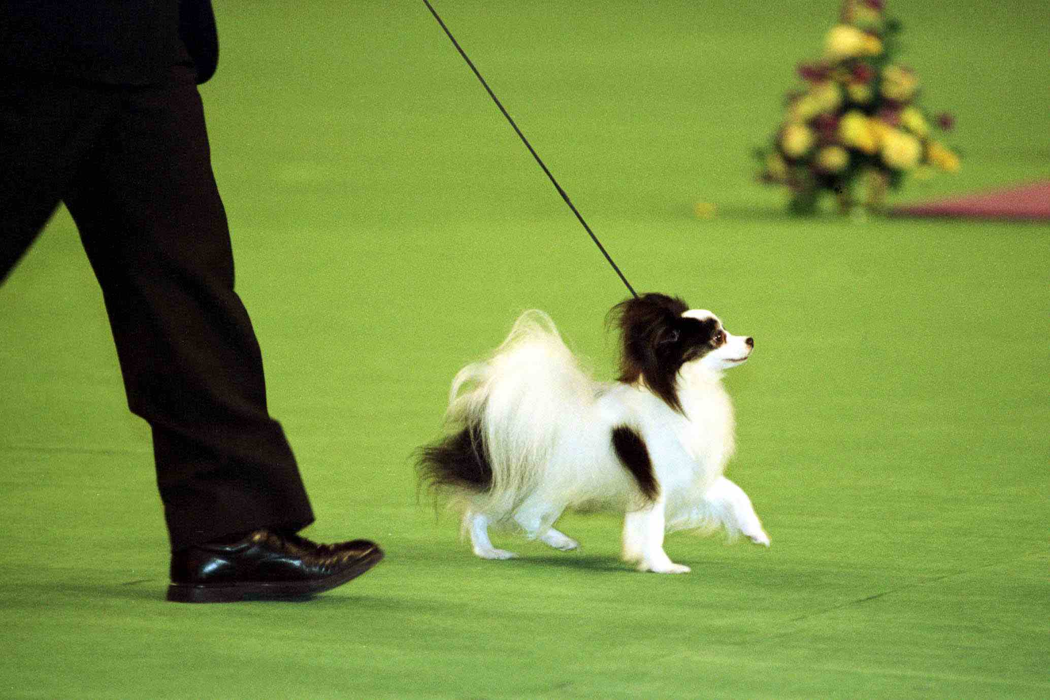 1999 Westminister Kennel club dog Show winner of Best-In-Show Ch. Loteki Supernatural Being or Kirby as he is known struts his stuff in the center ring.