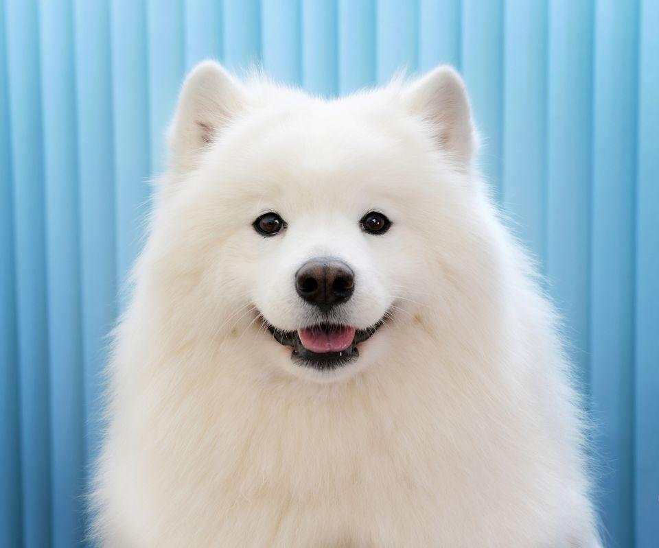 White Samoyed profile shot against a blue background