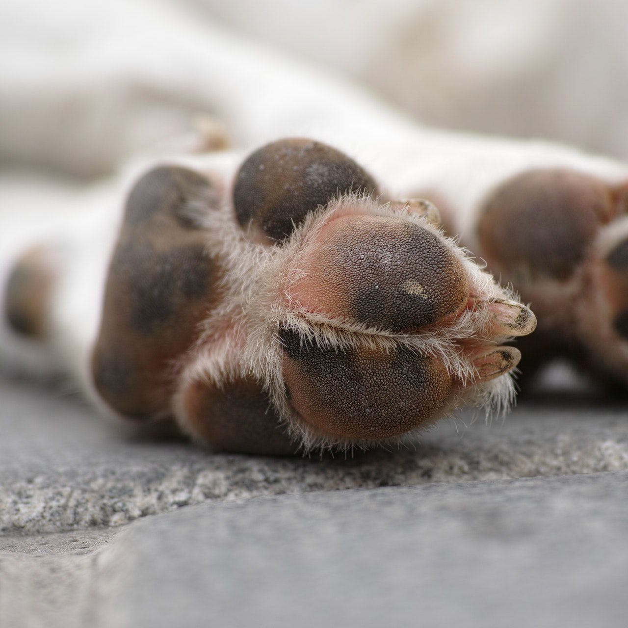 Nail Bed Fungal Infection In Dogs Nail Ftempo