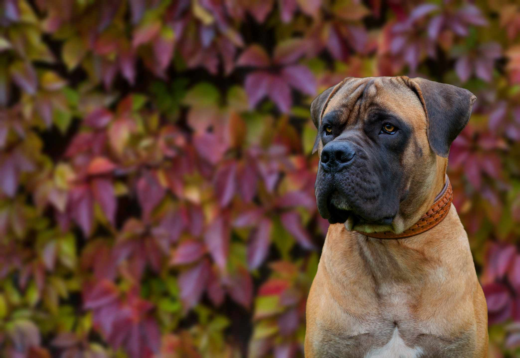 A large dog, resembling a mastiff, looking away from the camera in front of leaves.