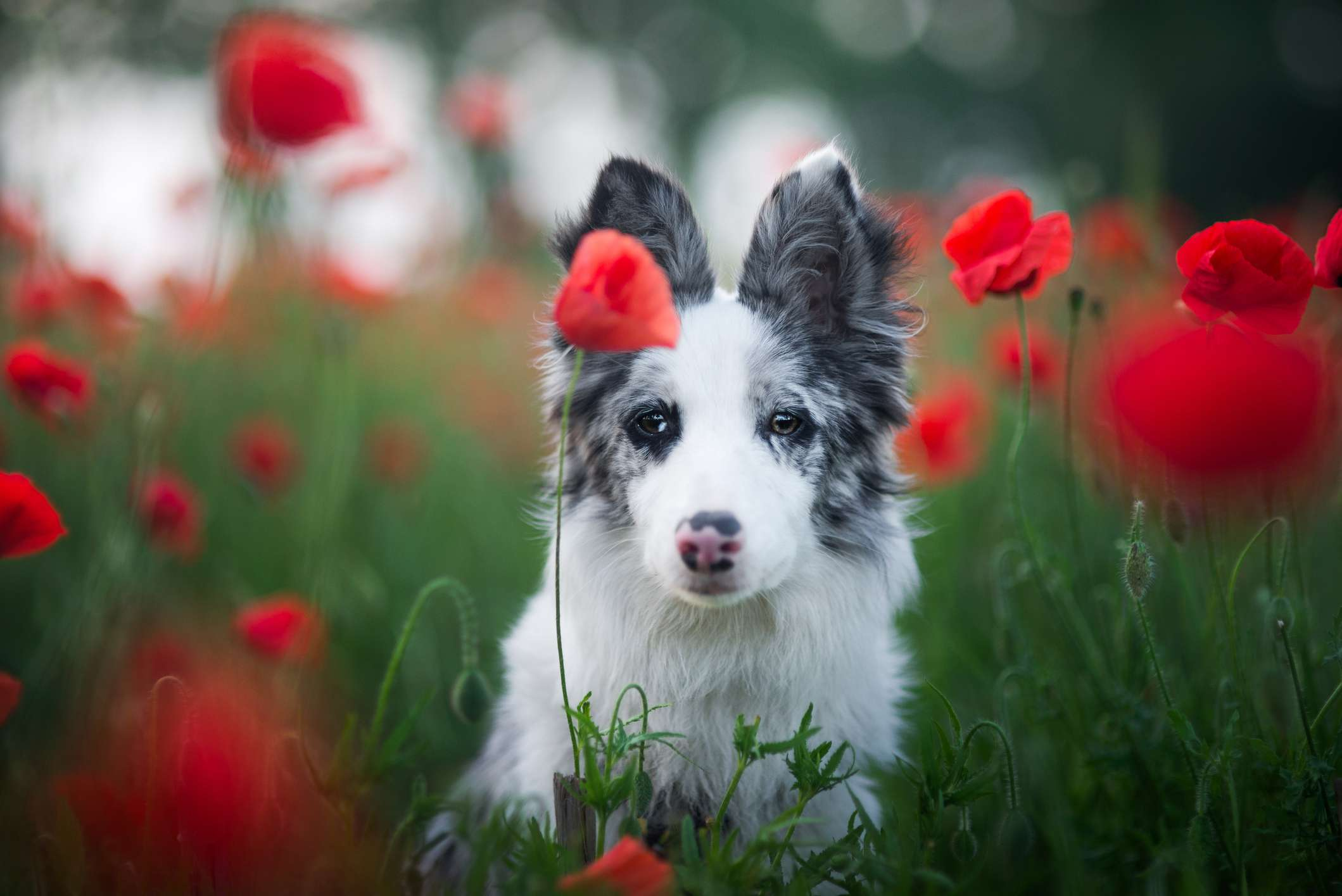 Dog looking into camera in field of poppy flowers