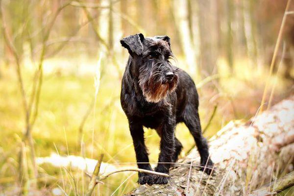 Smartest Dog Breeds — Miniature Schnauzer