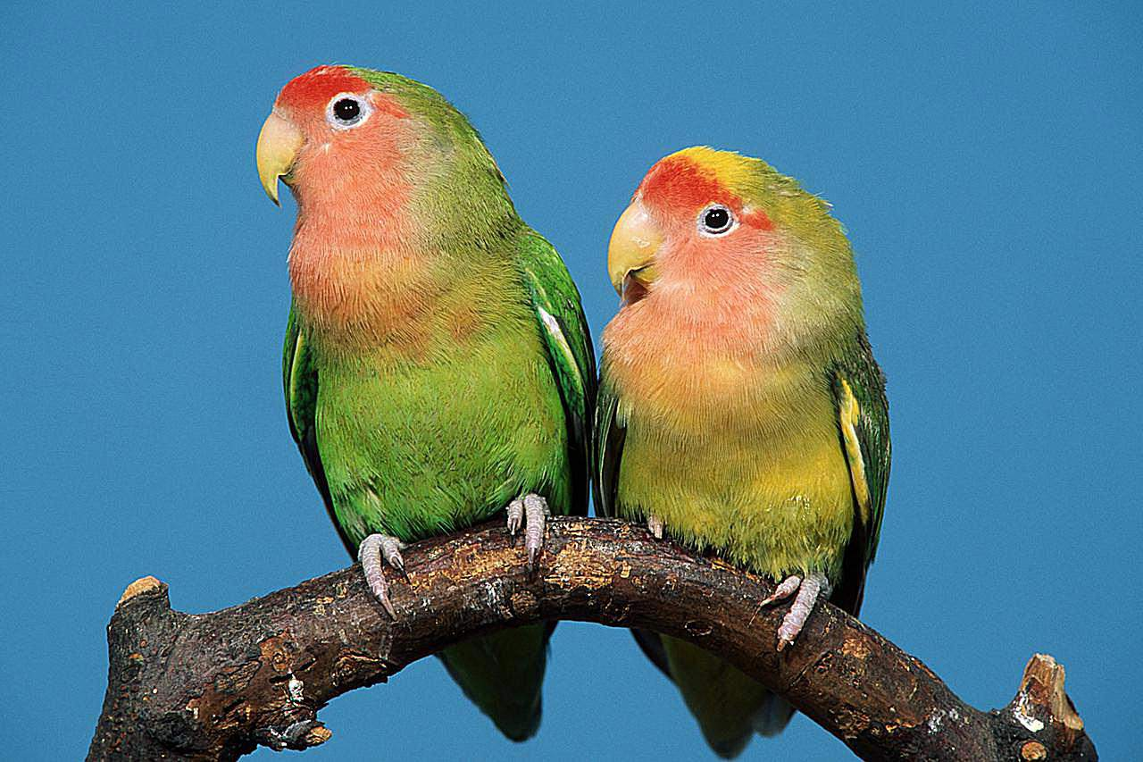 A pair of peach-faced lovebirds (Agapornis roseicollis) sitting on a branch.