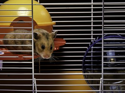Keeping and Caring for Pet Syrian Hamsters