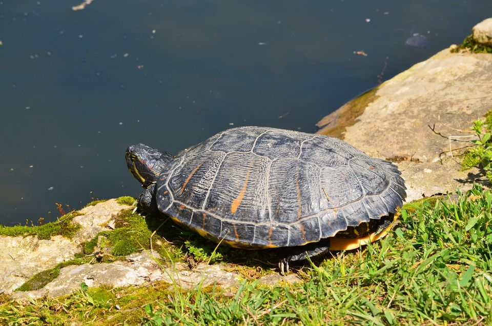 Red eared slider basking in sun