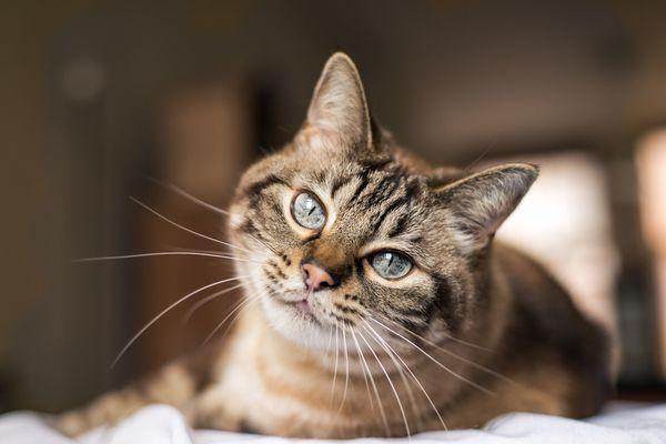 older cat looking at camera
