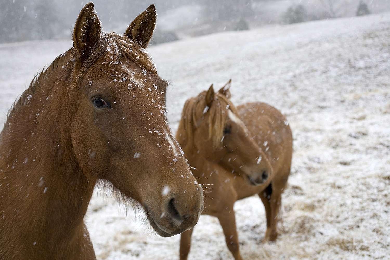 Dos caballos de aleta de pasaporte en la nieve.