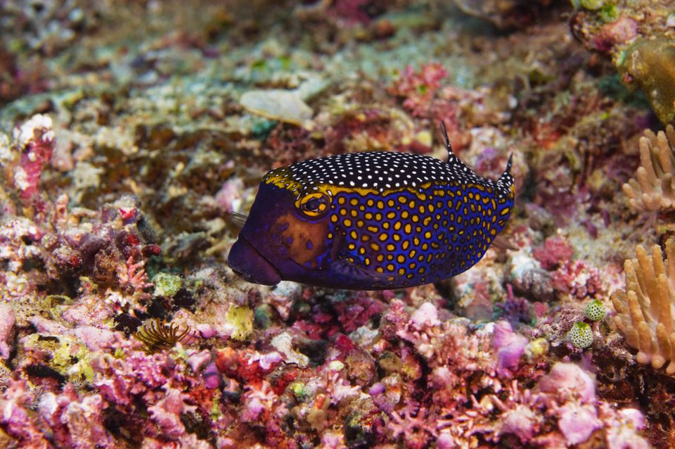 Spotted boxfish swimming