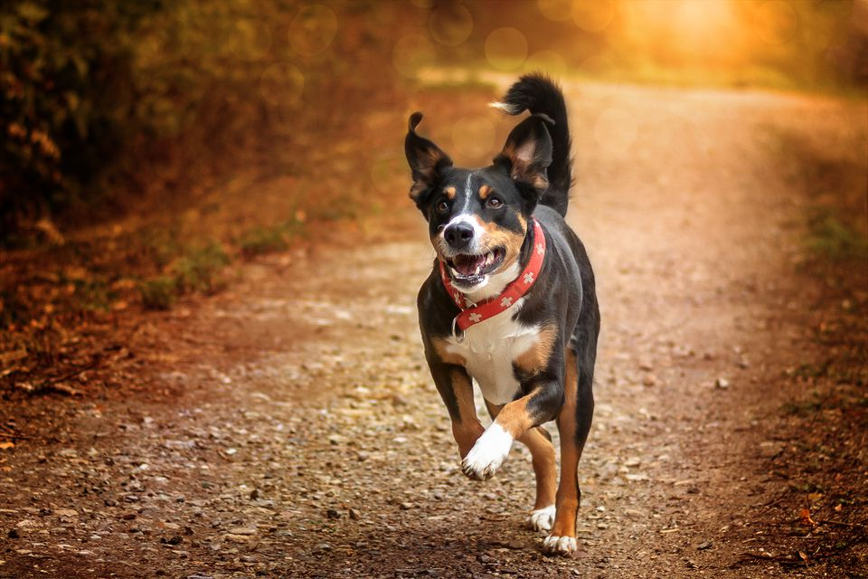 Adult appenzeller sennenhund running on path