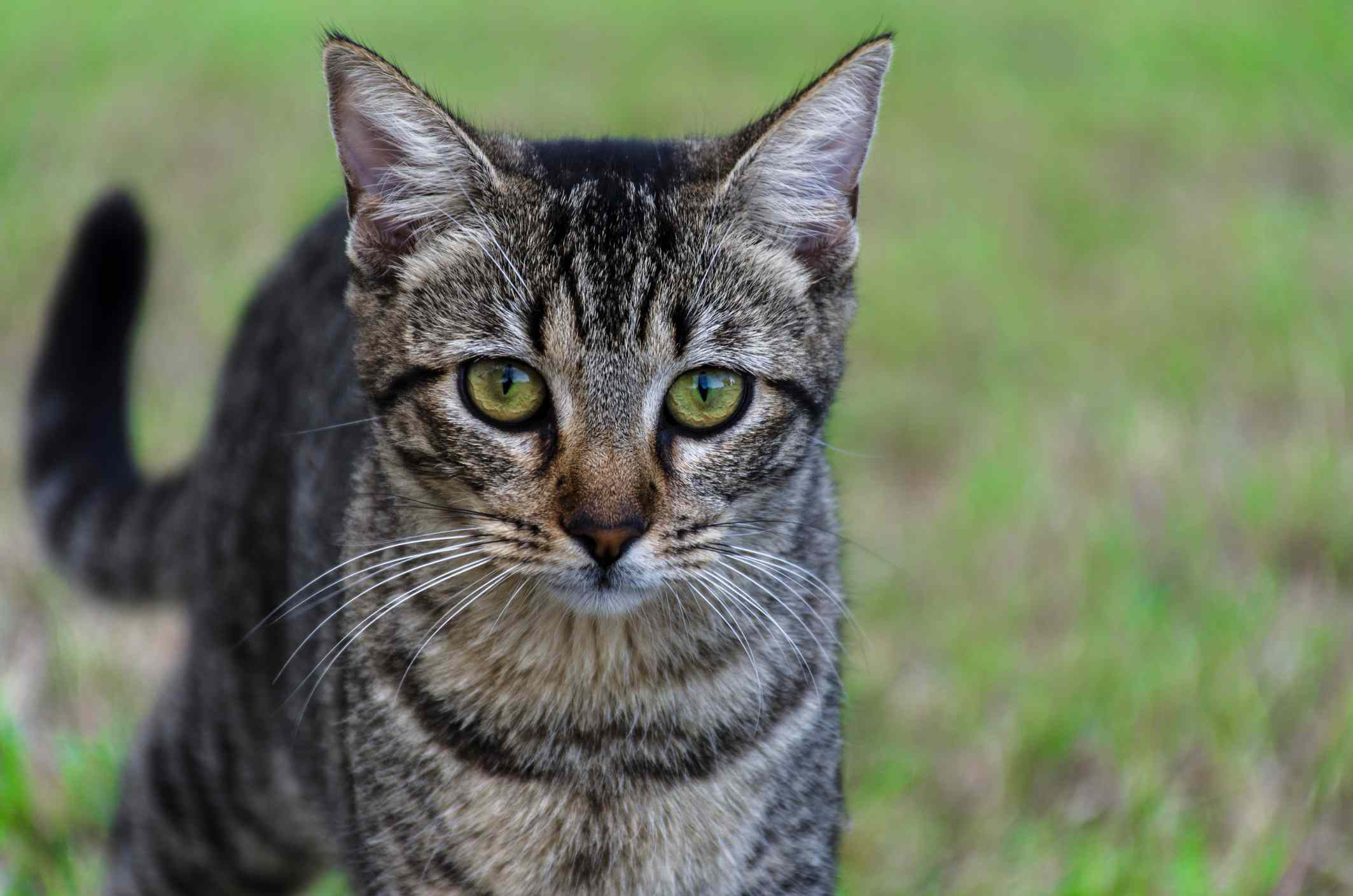 A Dragon Li cat outdoors.