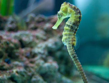 Seahorse in fish tank