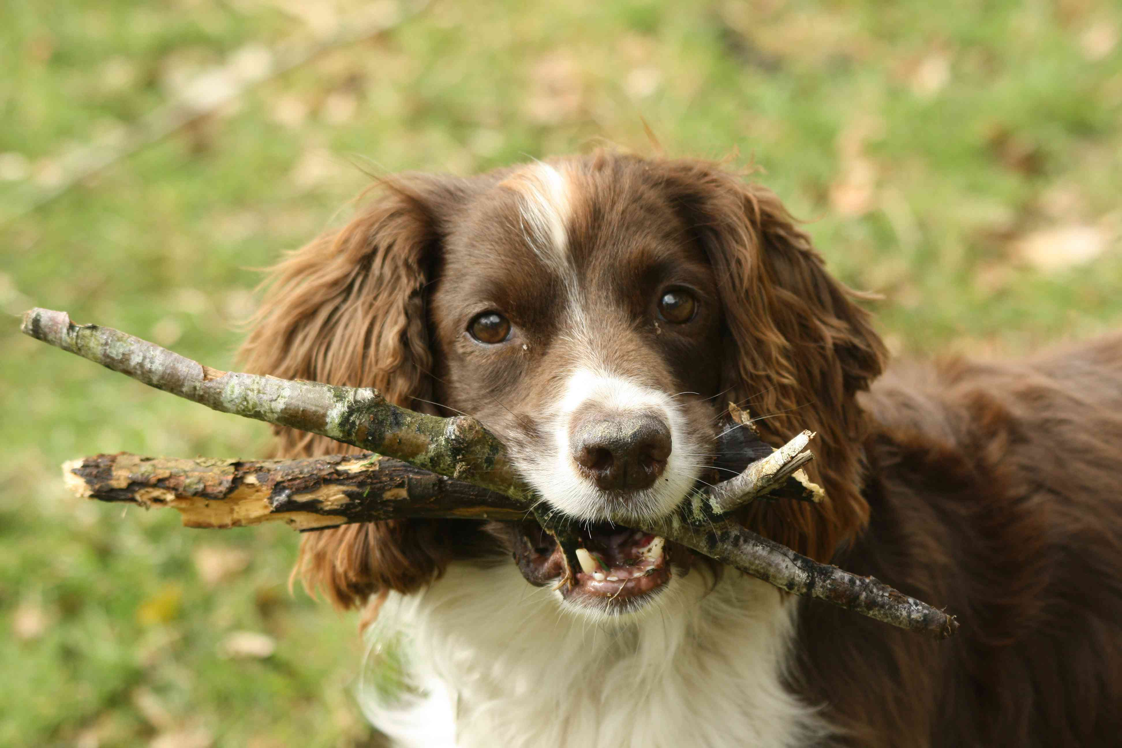 Dog carrying branches in mouth