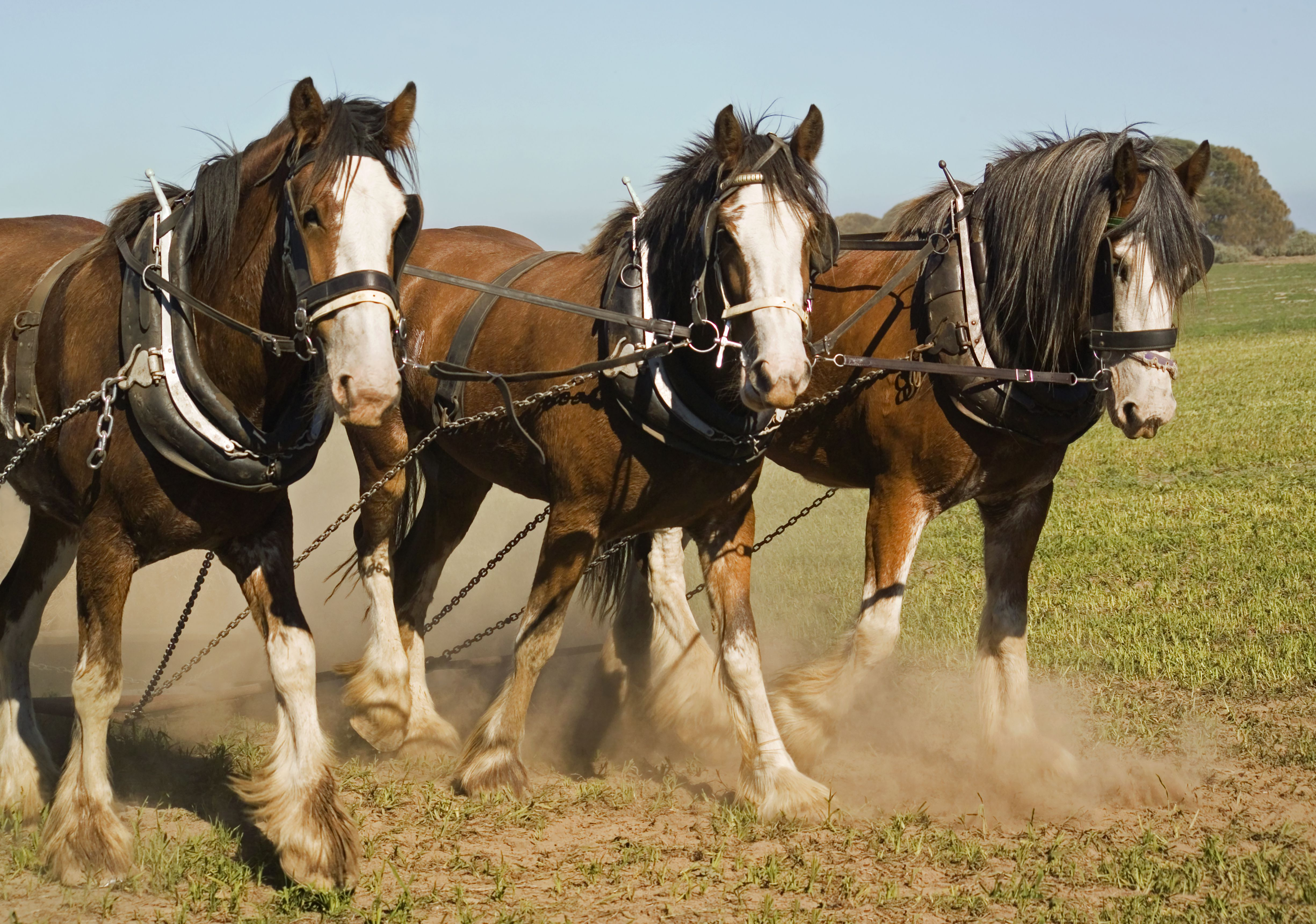 Clydesdale horse team walking in a field
