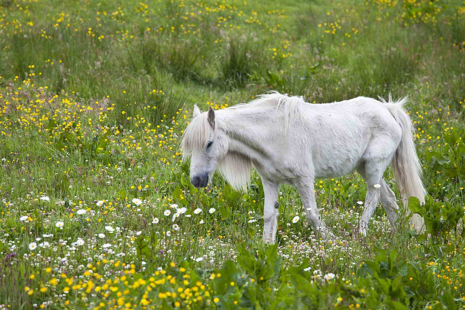 Skinny White Pony