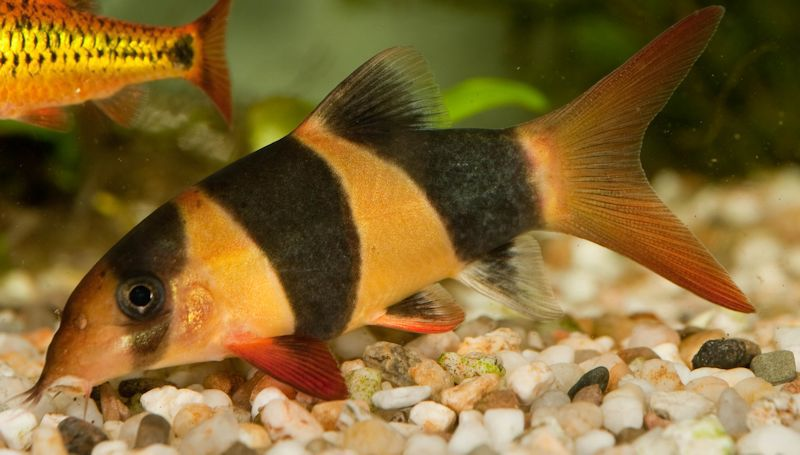 Which Loach Species Is Best For Your Aquarium