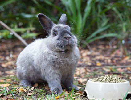 Gray rabbit sitting outside next to pet bowl with rabbit food